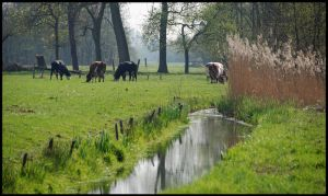 Spring cows at Loosdrecht by jchanders