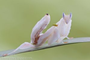Orchid Mantis ( MG 5909 copy) by orionmystery