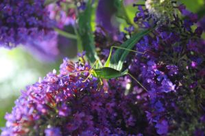 Speckled Bush Cricket 4 by Forestina-Fotos