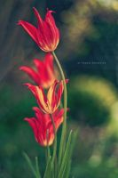 red tulips by thomassedl