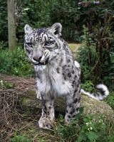 Snow Leopard Snarl by SnowPoring