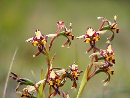 Donkey Orchids on Green 1 by Ratabago