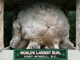 Bigass Burl by Whosle