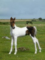 Moorland Foal 2 by The-strawberry-tree