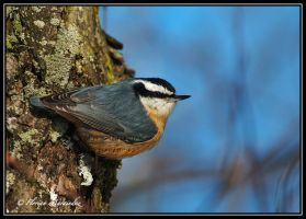 Nuthatch 3 by Ptimac