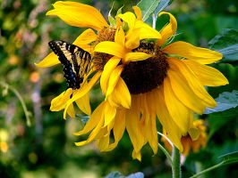 Butterfly and Sunflower by LevonHackensaw