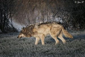 wolf hunting mode by Yair-Leibovich