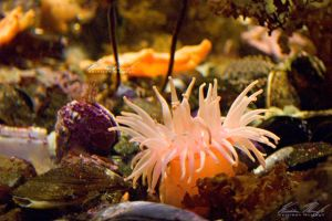 Sea Anemone by Ceardach