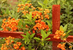 Pyracantha Angustifolia 'Monon' by TheSleepyRabbit