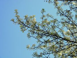bradford pear 2 by ABT-Photography