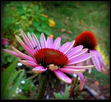 Purple Coneflower by JocelyneR