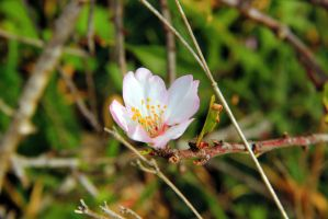 Almond flower by yasminstock