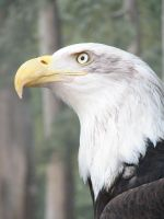Bald Eagle 1 stock by thiselectricheart