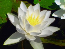 Water Lilly by jerrinator