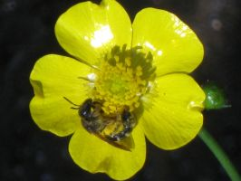 B in a buttercup by crazygardener