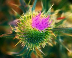 Thistle Flowers IV by MadGardens