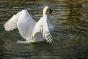 Swan II by darkcalypso-stock