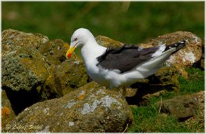 Great Black Backed Seagull I by lukias-saikul