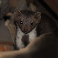 marten by Saifers