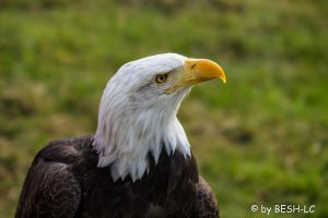 Bald eagle by BESH-LC
