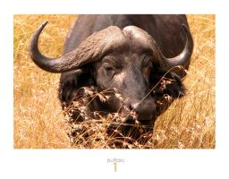 buffalo1 by pinkland