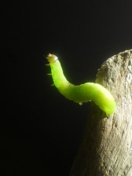 little caterpillar by Lott-photo