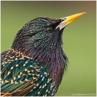 Starling's Portrait. by andy-j-s