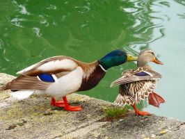 Mallard ducks. by Lacrimosa-Angelus
