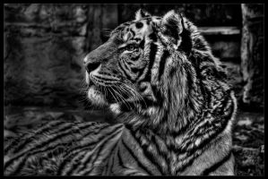 sibirien tiger by stg123