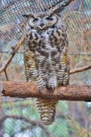 Great Horned Owl III by ArtistStock