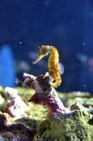 Sea Horse by esee