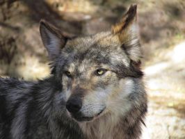 EPZ Mar23: Mexican wolf 14 by FamilyCanidae