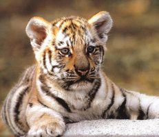 tiger cub laying down by In-love32669