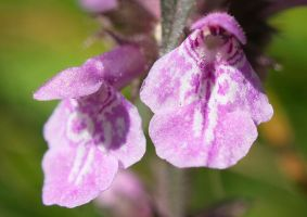 Stachys palustris (1) by starykocur