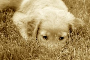 Jacy-Golden Retriever Puppy9 by sarabil1