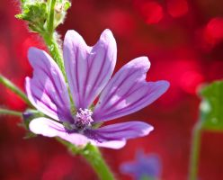 Purple vain by pqphotography