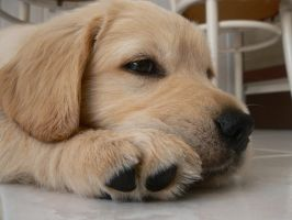 new golden retriever by nadeje