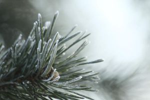Frosted Pine by Azagh