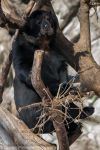 Andean Spectacled Bear 4 by CharlesWb
