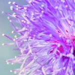 Mimosa Pudica in Close up by viegreeny