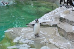 humboldt penguin 2.8 - juvenile by meihua-stock