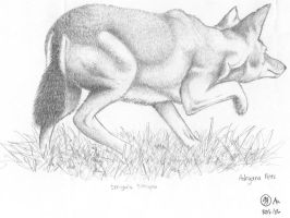 Ethiopian Wolf Sketch by artemiscrow