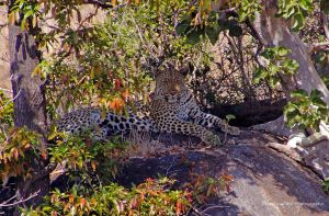 Relaxing Leopard by Martina-WW