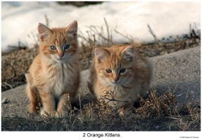 2 Orange Kittens by hunter1828