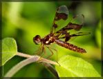 Eastern Amberwing 50D0000549 by Cristian-M