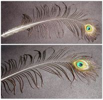 Peacock Feather Prop 2 Views by FantasyStock