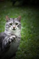 Pointing Cat 14668793 by StockProject1