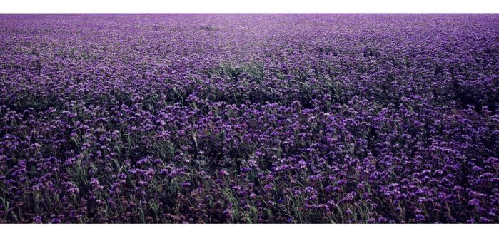 Violet Meadow II by caryca91