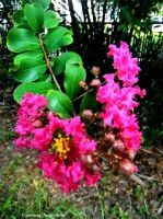 Pink and Yellow Crepe Myrtle Bloom by gdsbngd2me