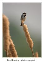Reed Bunting by noelholland
